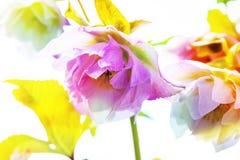 Ciemiernika kwiat lub Helleborus orientalis na bielu Obraz Stock