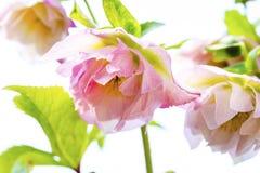 Ciemiernika kwiat lub Helleborus orientalis na bielu Zdjęcie Royalty Free