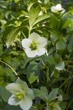 Ciemiernika kwiat, wiosna dzień w ogródzie fotografia royalty free