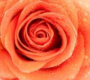 ciemna kropelek wizerunku macro róży woda Obrazy Royalty Free