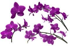 Ciemna lila orchidea kwitnie kolekcję odizolowywającą na bielu Obrazy Royalty Free