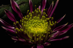 Ciemna purpur i koloru żółtego stokrotka Zdjęcie Stock