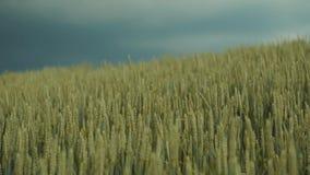 Ciemne burzowe chmury nad polem złota banatka, ucho rusza się pod wiatrem, banatki lub żyta Piękna natura, czysty teren zbiory