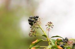 Ciemne jagody na roślinie w wiośnie z rozmytym tłem Zdjęcia Royalty Free