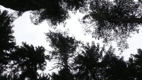 Ciemne korony drzewa miewa skłonność upwards, w niebo zbiory wideo