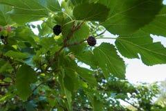 Ciemne owoc morwowy drzewo na gałąź Obraz Royalty Free