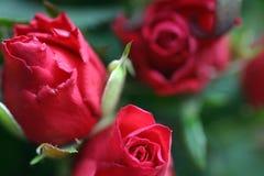 ciemne płatków czerwieni róże Zdjęcie Royalty Free