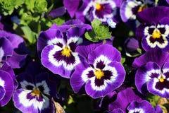 Ciemne purpury z centrum Dzikim pansy lub altówka tricolor małymi dzikimi kwiatami z jaskrawymi płatkami gęsto zasadzającymi wewn obraz stock