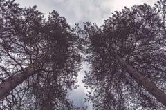 Ciemne sosny na tle chmurny niebo Ponury, ponuractwo krajobraz T?o zdjęcie stock