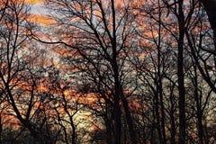 Ciemne sylwetki drzewa bez liści Obraz Royalty Free