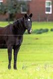 Ciemnego brązu koń - vertical zdjęcie stock