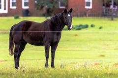 Ciemnego brązu końska patrzeje kamera zdjęcie royalty free