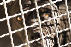 Ciemnego brązu pies za ogrodzeniem Zdjęcia Royalty Free