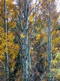 Ciemni Osikowi drzewa w Lee Vining w Kalifornia obraz stock