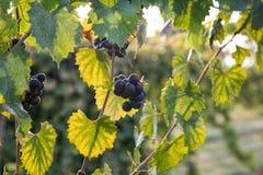 Ciemni Purpurowi Muscadine winogrona na winogradzie Obrazy Royalty Free