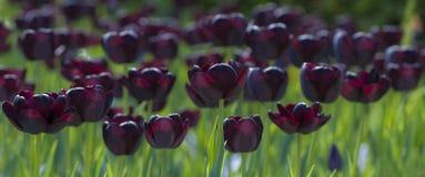 Ciemni purpurowi tulipany lub czarni tulipany w parku Obrazy Royalty Free