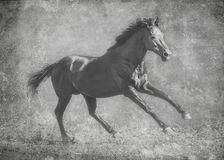 Ciemni sporta ogiera bieg galopują na wolności W czarny i biały artystycznym traktowaniu fotografia stock