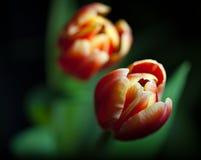 ciemni tło tulipany dwa Obraz Royalty Free