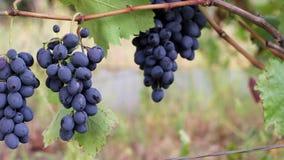 Ciemni winogrona zbiory