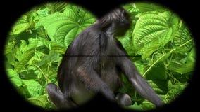 Ciemniusieńki liść małpy Trachypithecus obscurus także znać jako Spectacled Langur Widzieć przez lornetek Dopatrywań zwierzęta pr zdjęcie wideo