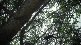 Ciemniusieńki liść małpy doskakiwanie na drzewie Je bananowego dzikiego życie zdjęcie wideo