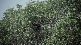 Ciemniusieńki liść małpy doskakiwanie na drzewie Je bananowego dzikiego życie zbiory