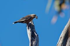 Ciemniusieńki woodswallow - Artamus cyanopterus ptasi lasy i lasy w regionach gatunki temperate i podzwrotnikowych obraz stock