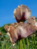 Ciemniusieńkich róż menchii maczków zamknięty up fotografia stock