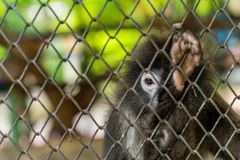 Ciemniusieńkiego liścia małpi lub spectacled langur zdjęcia stock