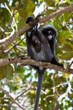 ciemniusieńkiej liść małpy siedzący drzewo obrazy stock