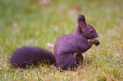 ciemniusieńka wiewiórka Fotografia Royalty Free