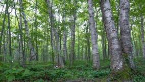 Ciemniutki brzozy deciduous drzewa las z zielenią opuszcza w jeżatek gór pustkowia stanu parku w Górnym półwysepie Mic zdjęcia royalty free