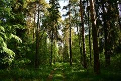 Ciemniutki iglasty las sosny i jodły na gorącym letnim dniu drogowy trawa ślad obraz royalty free