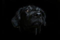 ciemności tła czarny siria psa. Obrazy Royalty Free