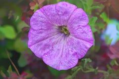 Ciemnopąsowa kolorowa kwitnąca petunia kwitnie w górę Petuni hybrida zdjęcia royalty free