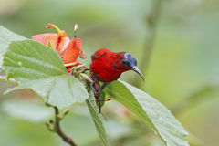 Ciemnopąsowego Sunbird Aethopyga siparaja Męscy ptaki Tajlandia obraz stock