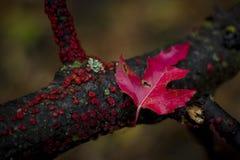 Ciemnopąsowy liść Obraz Stock