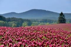 Ciemnopąsowej koniczyny pole w lecie Obrazy Royalty Free