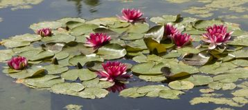 Ciemnopąsowi waterlilies na wodzie Obraz Stock