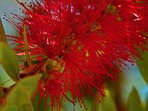 Ciemnopąsowy bottlebrush citrinus Zdjęcie Stock