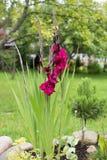 ciemnopąsowy gladiolus w ogródzie Obraz Royalty Free