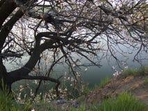 ciemnowiśniowy kwiatonośny drzewo obraz royalty free