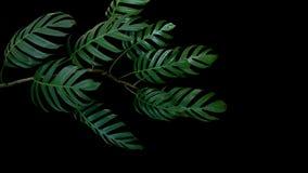Ciemnozieleni liście Monstera filodendron zasadzają dorośnięcie w dzikim Obraz Stock
