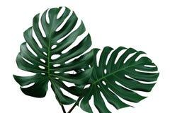 Ciemnozieleni liście monstera lub liścia filodendron Monste Obraz Stock