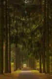Ciemnozielona świerkowa aleja chmurzący jesień dzień Fotografia Royalty Free
