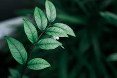 Ciemnozielona natury roślina używać dla tła Zdjęcie Royalty Free
