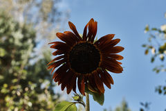 Ciemny żółty ornamentacyjny słonecznik Fotografia Stock