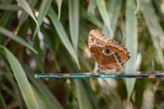 Ciemny brąz z śmietankowym - białe łaty na skrzydłach motylich Pararge aegeria cętkowany drewno Zdjęcia Royalty Free