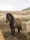 Ciemny Ciemny Islandzki koń Zdjęcie Stock