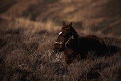 Ciemny cisawy koń siedzi na zbocze trawie Fotografia Royalty Free